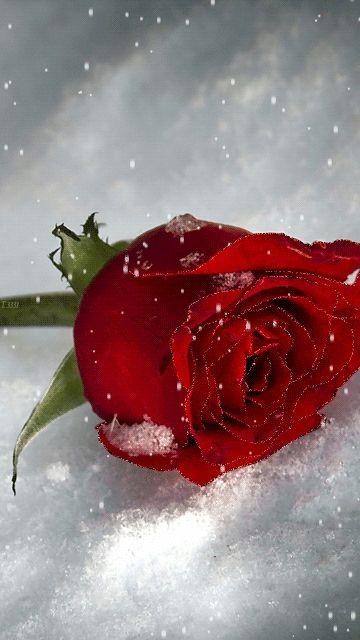 die 25 besten ideen zu rote tulpen auf pinterest tulpen. Black Bedroom Furniture Sets. Home Design Ideas