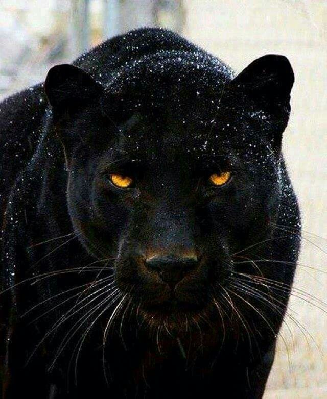 A panthers lamp-like eyes are just stunning . #wow