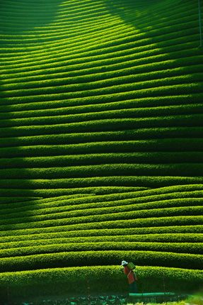 Tea plantation in Kyoto, Japan showing how great green stripes are