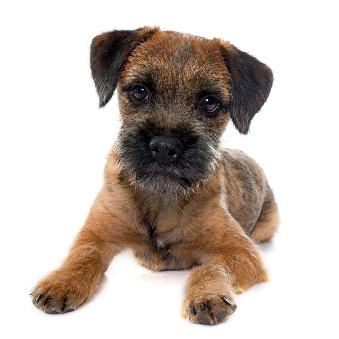 Border Terrier Border Terrier Border Terrier Puppy Dog Breeds
