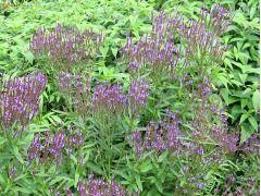 """Verbena hastata """" Blue Spires """" - verbena, sporýš Zahradnictví Krulichovi - zahradnictví, květinářství, trvalky, skalničky, bylinky a koření"""