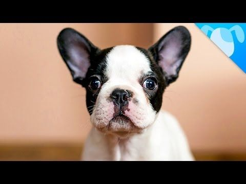 http://anmlst.co/BBEfrenchbull The French Bulldog is actually from England. They skink like a rock in water with their big heads and small hips. They also make a great dog for small homes and will be protective over little kids!