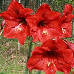 A hölgyliliom vagy amarillisz, Hippeastrum korán tavasszal díszíti a virágüzletek kirakatait. Amarillisz gondozása.