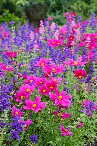 Colorful annual border from summer through fall - Salvia Viridis 'Blue Monday' , and Cosmos bipinnatus