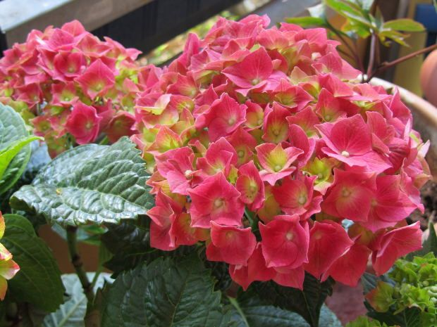 Growing Hydrangeas there is a hydrangea to fit most gardens in most areas of the country. Shade or sun, acid soil or alkaline. Blue, pink, white, bi color