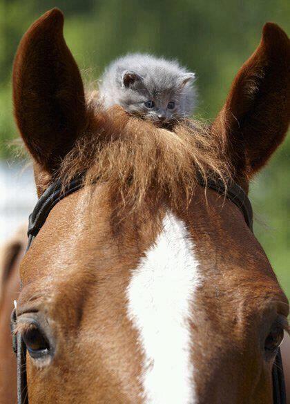 adorable grey kitten sitting on horse's head