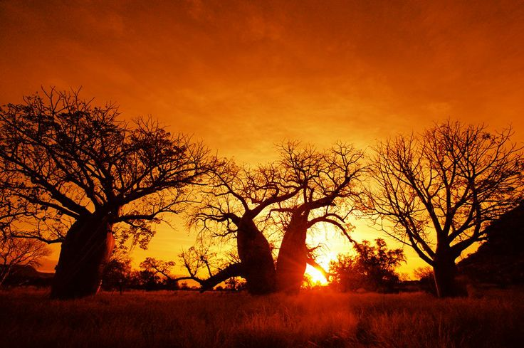 Boab trees silhouetted in the sunset ~ Kimberlies, West Australia from RM Williams magazine