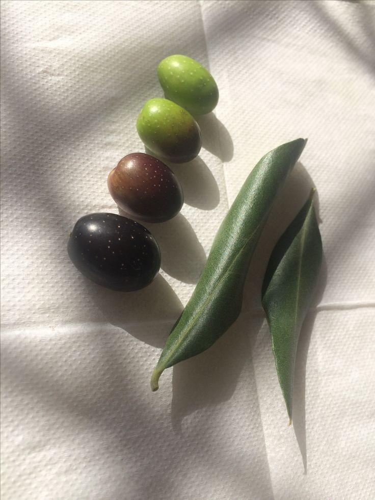 #frantoio #olive #aceituna La planta es un árbol de tronco corto grueso frondoso, resistente a las heladas, a las pestes, muy prolífico, aceitunas de muy buen grado para comer directo o para aceites prensados en frío. Que delicia!!!