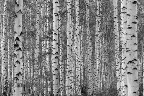 Birch Tree Forest (Black and White) 12' x 8' (3