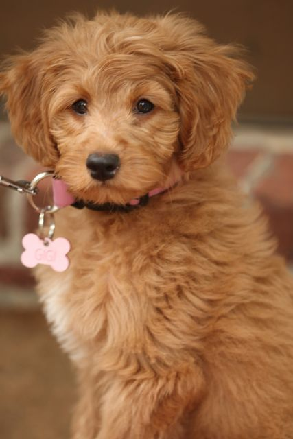 Mini-goldendoodle, blue ridge breeders