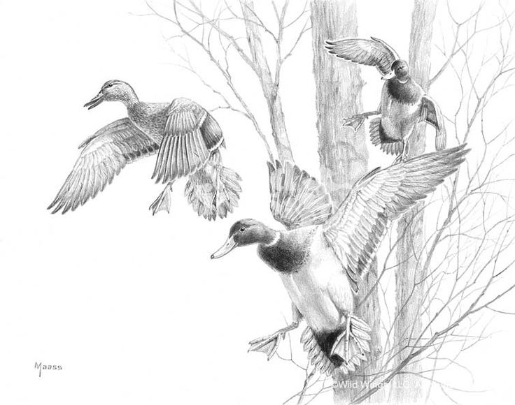 Mallard Drake Sketch In 2019 Hunting Drawings Duck