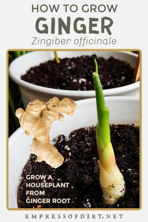 Easy Way To Grow Ginger Root Indoors Empress Of Dirt In 2020 Growing Ginger Planting Ginger Root Avocado Plant