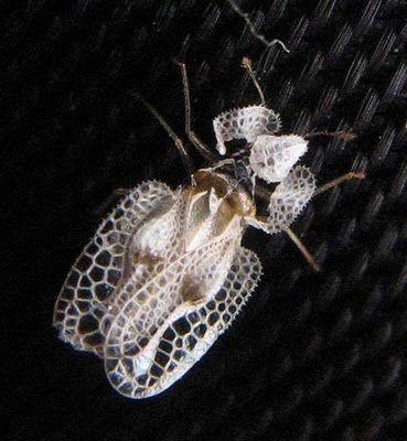 WOW! The Sycamore Lace Bug (Corythucha ciliata)