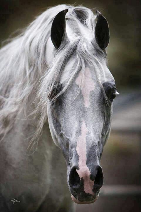 113 best images about Arabian Horses on Pinterest ...