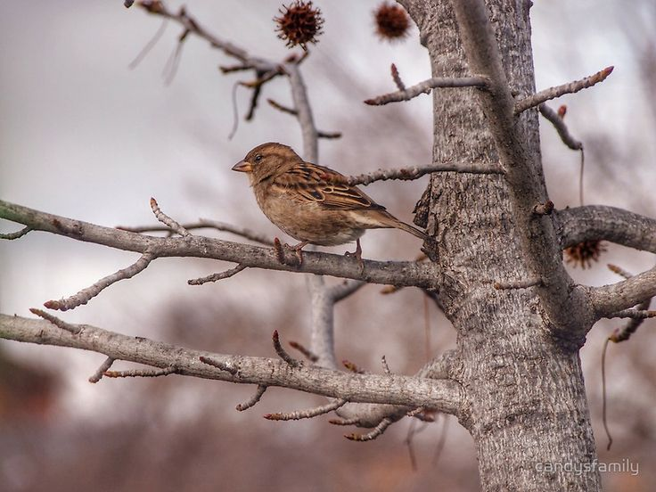 Winter Sparrow - Goulburn NSW Australia - and you can buy this picture of mine now on RedBubble :) yay!