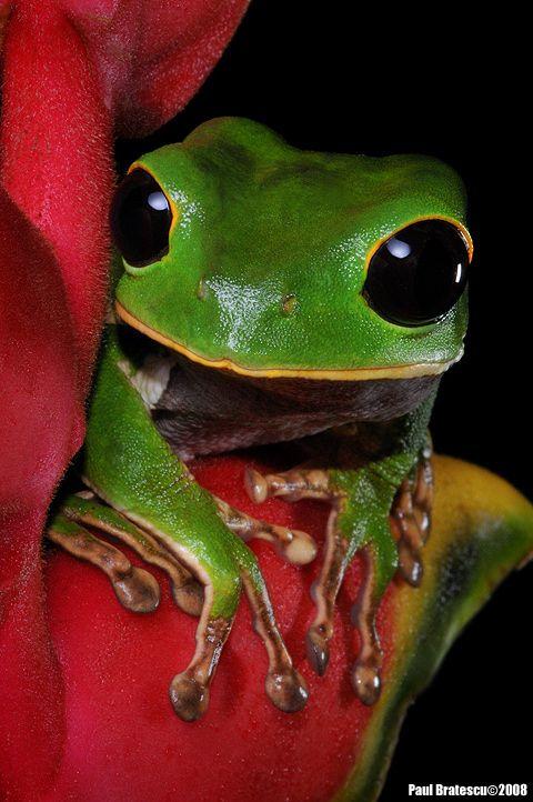 Alien Black-eyed Monkey Tree Frog (Phylomedusa gamba) Puerto Maldonado Rainforest Conservation Anuran, Peru - photo: Paul Bratescu on 500px