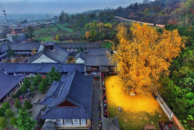 ginkgo-arbre-automne-chine-feuilles-or-0