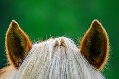 Horses ears stock photo