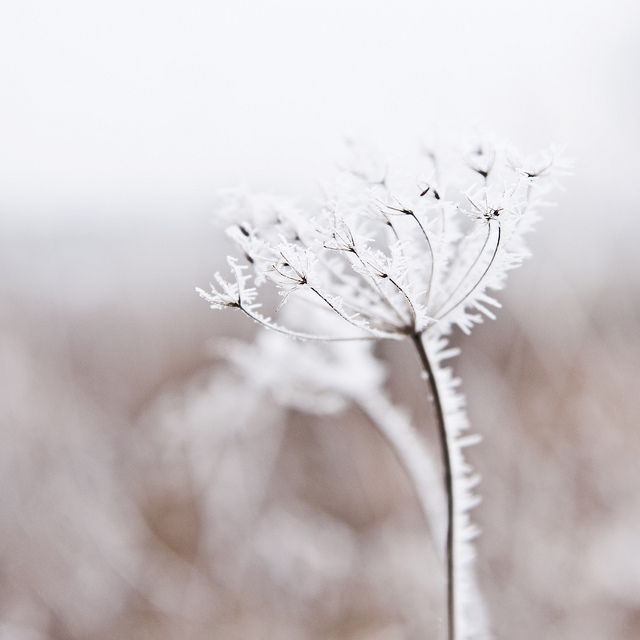 Winter frost - flower