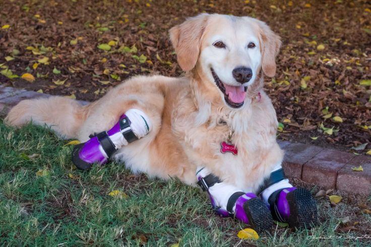 Ze kan weer lopen! Hond wiens poten alle vier geamputeerd moesten worden, rent weer