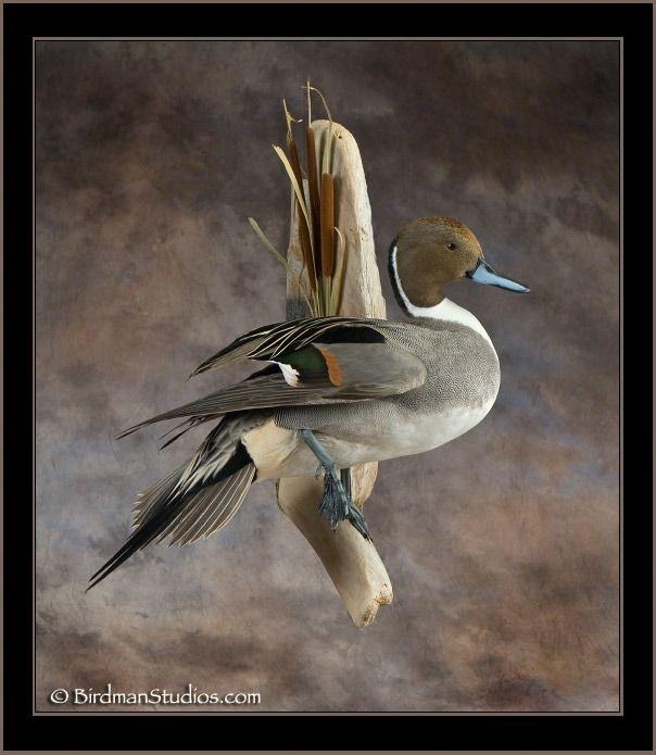 Birdman Studios Waterfowl Taxidermy * Upland & Bird Taxidermy * Duck Mounts…