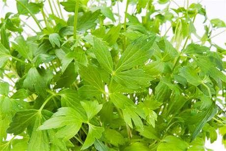 Libeček je statná vytrvalá bylina s bohatě rozvětveným kořenem a dutou lodyhou.