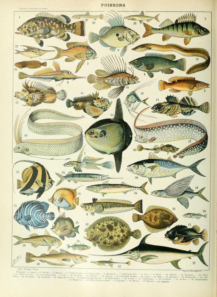 885 best fish shells etc images on pinterest fish clam for Koi larousse