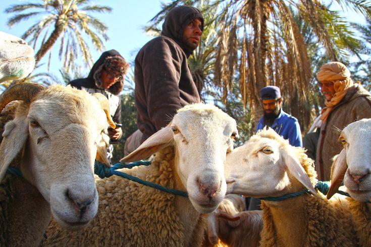 Douz, a porta de entrada no deserto do Sahara, na Tunísia, foi em tempos uma autoestrada de caravanas de camelos que atravessavam o Sahara a caminho do oriente. Aqui afluíam caravanas de camelos provenientes de todo o Magrebe e dos países a sul, que comercializavam os produtos que embarcariam na mítica Rota da Seda. Viajantes, …