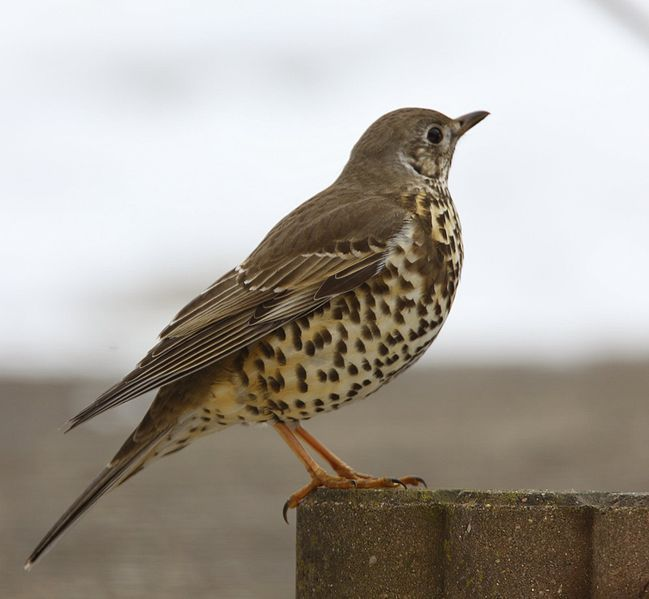 The Case Of The Missing Mistle Thrush  ... from PetsLady.com ... The FUN site for Animal Lovers