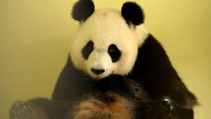 GROSSESSE. Huan Huan, la femelle panda prêtée par la Chine au zoo de Beauval (Loir-et-Cher) est enceinte, une première en France pour des pandas géants. «C'est exceptionnel, ça va être notre bébé chéri, nous avons explosé de joie devant l'échographie car cela faisait longtemps que l'on attendait ce moment. C'est aussi un espoir pour la conservation des pandas qui sont en danger d'extinction dans la nature», a déclaré à l'AFP Delphine Delord, directrice de la communication du zoo.La naissance…