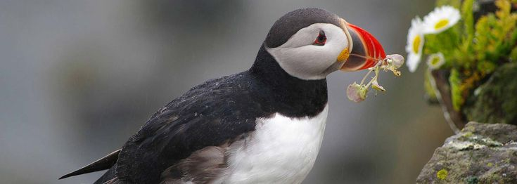 Skomer Island Voted As The UK's Favourite Nature Reserve! Skomer Puffin by Gillian Day