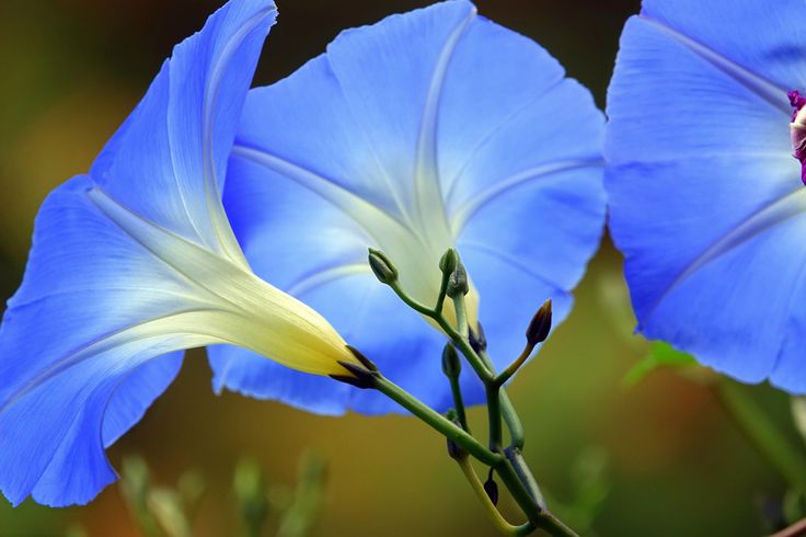 Behind the Scenes - Morning Glories in Blue.