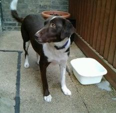 Here we have a stunning girl called Agatha Trunchbull. Agatha is a 3-4 year old female Labrador Cross. This dear girl has traveled 1,800 miles from Romania to  ...