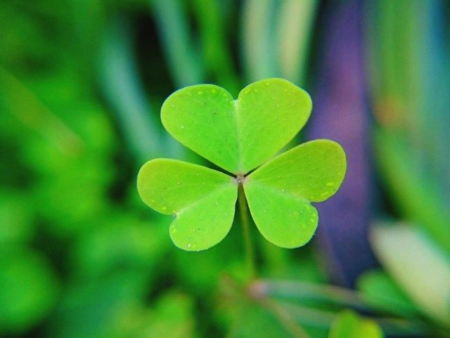 What Counts As A True Shamrock And Why Is It A St Patrick S