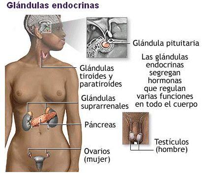 endocri1.gif (411×356)