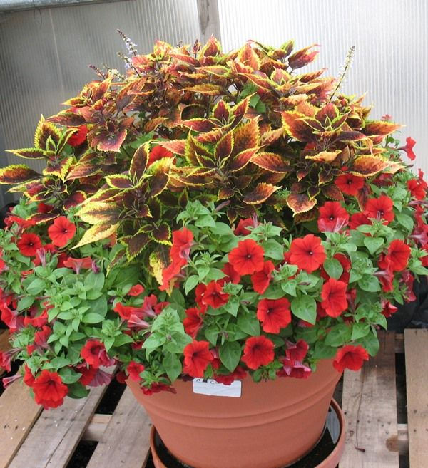 Power Flowers Coleus and petunia container garden