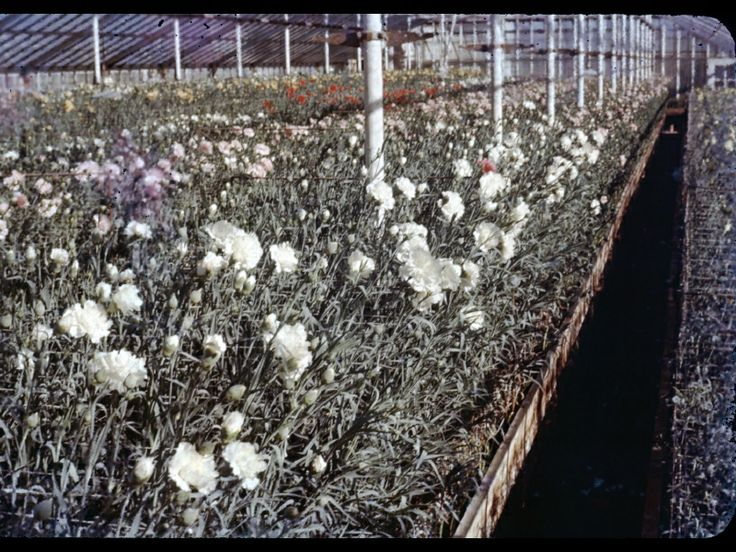 #BayportFlowerHouses #greenhouse #carnation  Growing our own carnation crops back in the 1960s