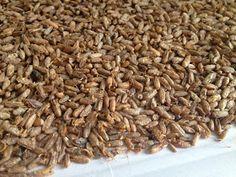 Vamos a crear nuestra propia harina de malta .     La harina de malta es la harina que se obtiene tras germinar y secar los granos ...