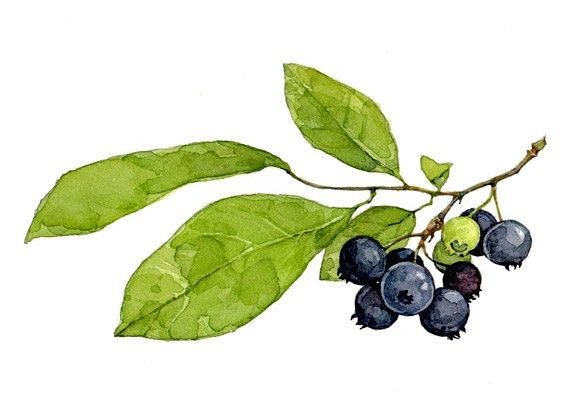 Blueberries Botanical Watercolor Print by Studio Tuesday