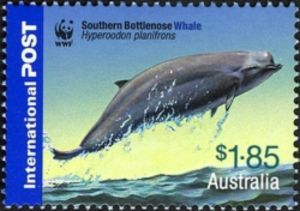 Flatheaded Bottlenose Whale (Hyperoodon planifrons)