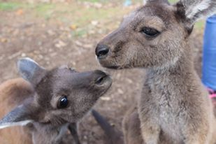 Uralla Wildlife - Western Australia