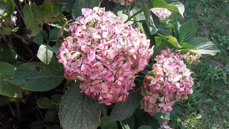 antichi fiori
