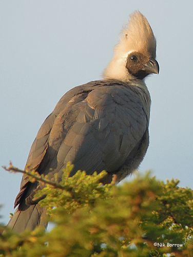 Bare-faced Go-away-bird, Ethiopia