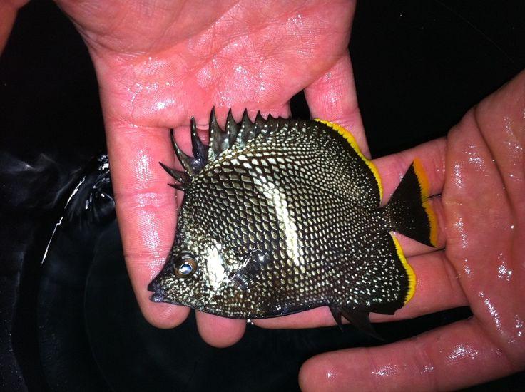 Rare saltwater aquarium fish aquarium pinterest for Rare saltwater fish
