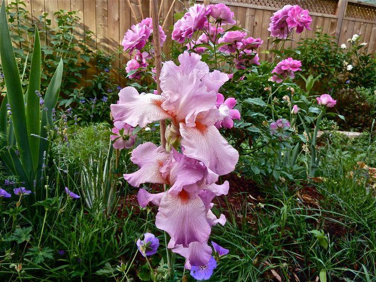Iris violet en juin