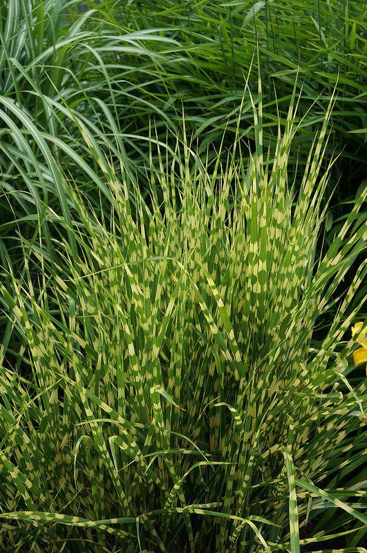 140 best ornamental grasses images on pinterest for Top ornamental grasses