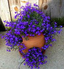 Blue lobelia in a strawberry pot