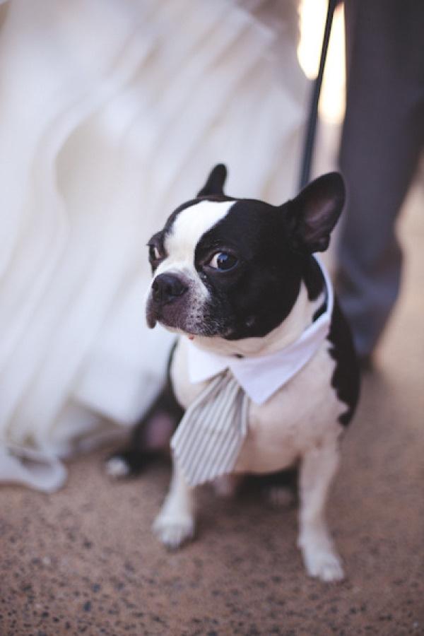 Ahh! A tie!: Boston Terriers Weddings, Weddings Dogs, Puppys Bearer, Floral Design, Dogs Photography, Man Best Friends, Little Man, Idea Weddings, Boston Terriers Wear Bows Ties