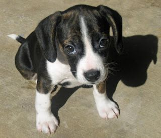 Cute Puppy Dogs: black and white beagle puppies