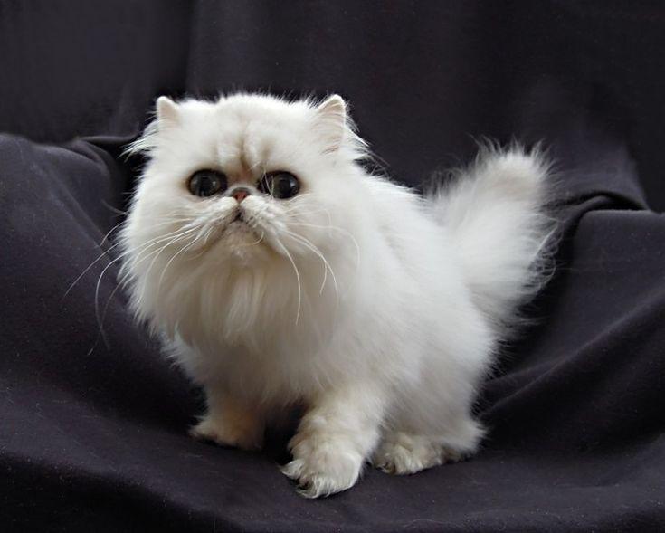 EUCKER / CFA/ chinchilla, silver, golden, persian, exotic cat | PAST KITTENS
